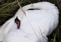 Любимого лебедя жителей Талдомского района Подмосковья застрелили дробью участники пьяной вечеринки