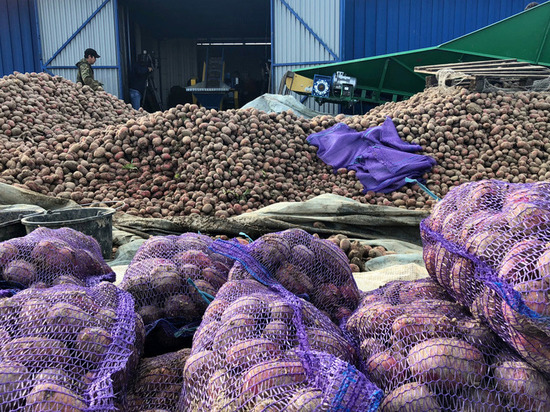 Аграрии Ямала собирают тонны картофеля с полей