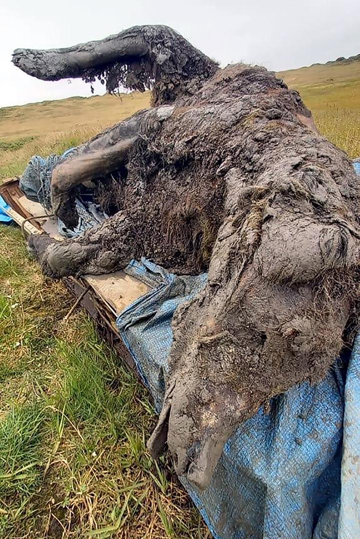 Якутские оленеводы нашли целого пещерного медведя, сохранившегося в вечной мерзлоте