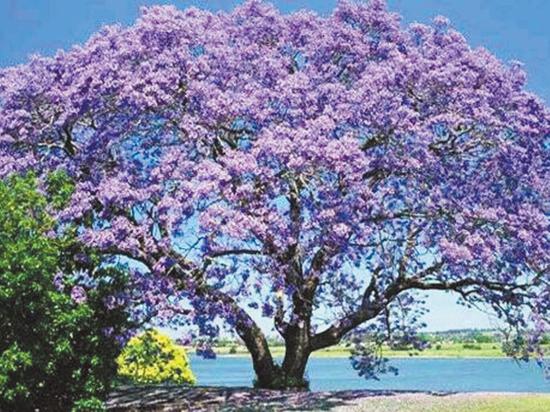 Адамова роща поразит горожан ярким фиолетовым цветом