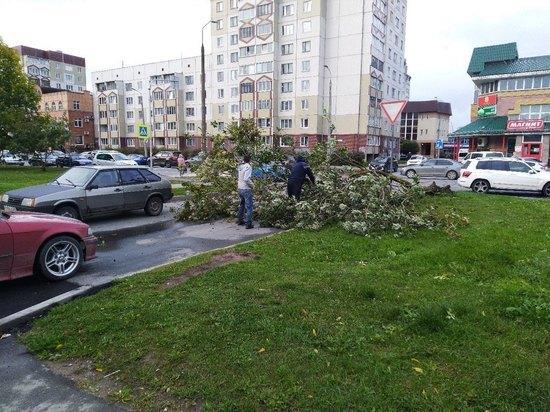 Сильный ветер повалил дерево на улице Рокоссовского в Пскове