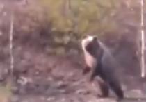 На Ямале огромный медведь прогнал железнодорожников