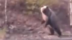 Резко побежал к людям: на Ямале взрослый медведь напугал железнодорожников