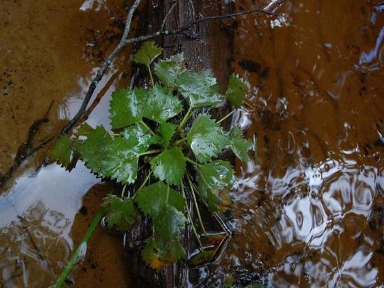 В Тверской области найден водяной орех чилим