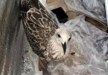 Жители Ноябрьска ищут дом для раненого птенца баклана