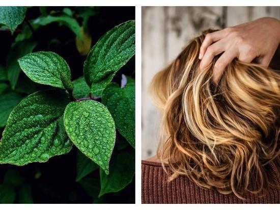 В Корее возродили древнее средство против выпадения волос
