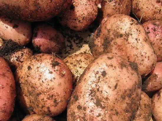Белорусский картофель назвали небезопасным и не пустили в Псковскую область