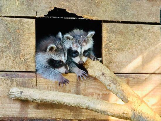 В чебоксарском зооуголке родились три енота