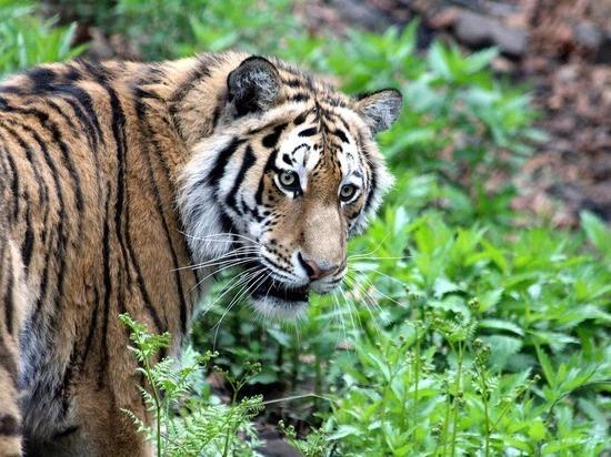 В Приамурье убили краснокнижного тигра Павлика