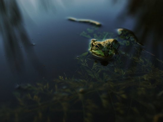 Ученые нашли лягушек, которые 80 лет считались вымершими