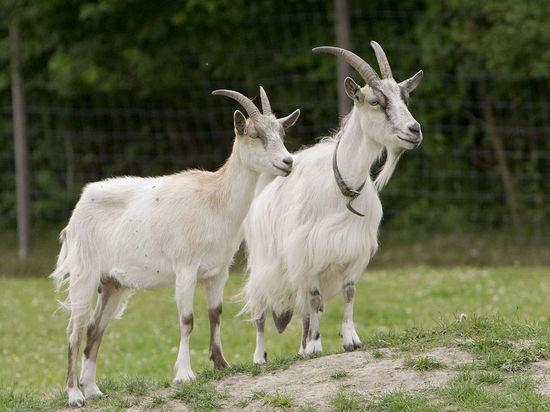 Бурятская сельхозакадемия поможет Окинскому району в разведении коз