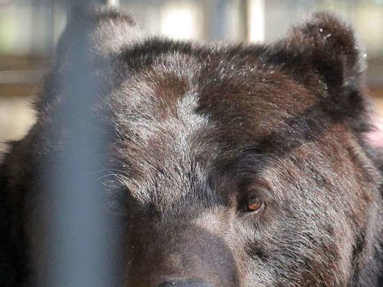 Лазающего по деревьям медвежонка сняли на камеру в Новокузнецке