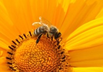 Аргентинские ученые научились дрессировать пчел