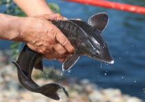 Казахстан может обеспечить весь мир уникальной сибирской рыбой