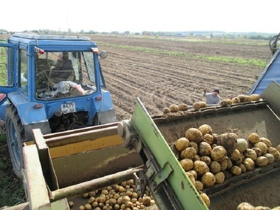 Сбор урожая картофеля завершается в Серпухове
