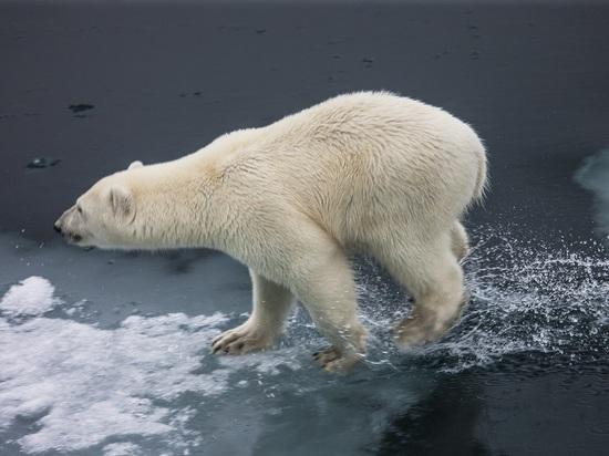 В Якутии неизвестные застрелили белого медведя