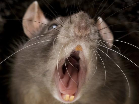Атакуют грызуны: Ивановская область страдает от набега мышей и крыс
