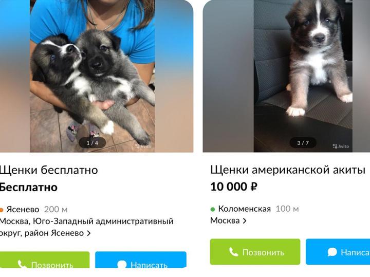 Тайны щенячьей мафии: как обманывают москвичей при покупке породистых собак
