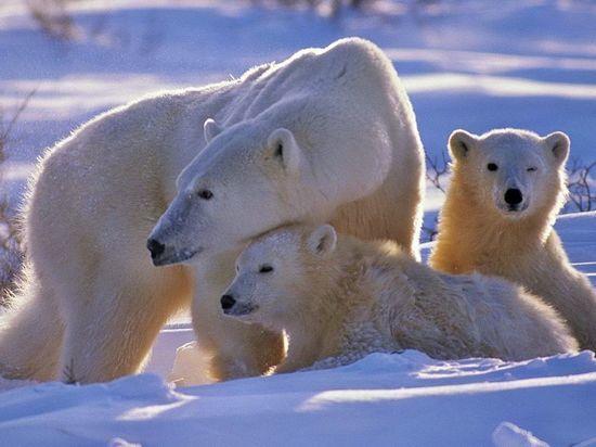 Житель Якутии, выживший при нападении белого медведя, притворился мертвым