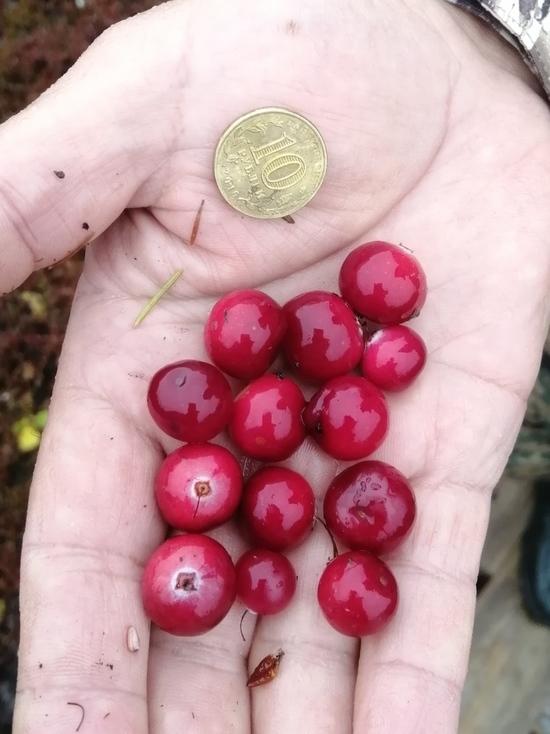 В Югре выращивают культурные лесные ягоды