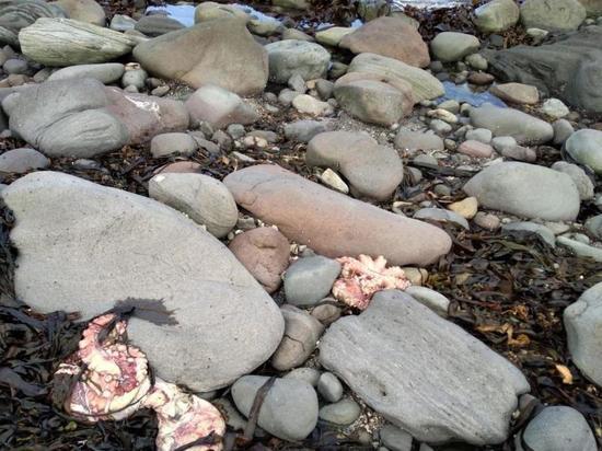 На берег Парамушира выбросило мертвых осьминогов