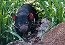 Тасманский дьявол вернулся на материковую Австралию впервые за 600 лет