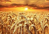 Аргентина первой в мире одобрила ГМО-пшеницу