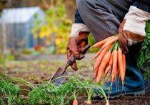 Уборка овощей обнажила классовые противоречия в российском селе