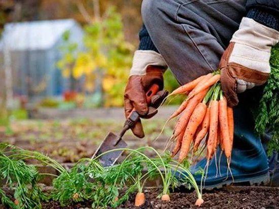ce393192397d0e5194b69e3339874f04 - Уборка овощей обернулась большими проблемами для российского села