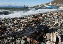В экологическом ЧП у юго-восточного берега Камчатки, развивавшемся с середины сентября до начала октября, повинно вредоносное цветение воды, а точнее, микроводоросль гимнодиниум, выделяющая диарейные токсины