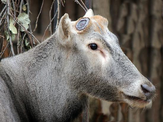"""В зоопарке """"Лимпопо"""" олень второй раз за год сбросил рога"""