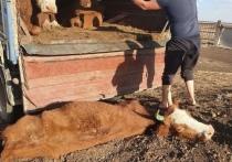Чей скот погибает в калмыцкой степи
