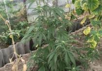70 кг конопли вырастил на даче иркутянин