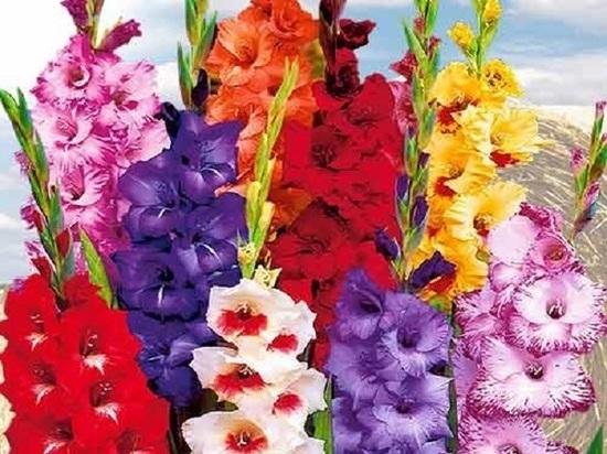 Наполнить сад гладиолусами: доступно каждому