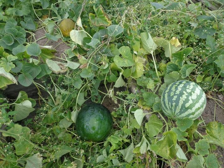 вырастить арбуз в теплице на северо западе