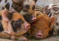 Проведенные американскими учеными исследования показывают, что коронавирус свиней может передаваться от животных к человеку