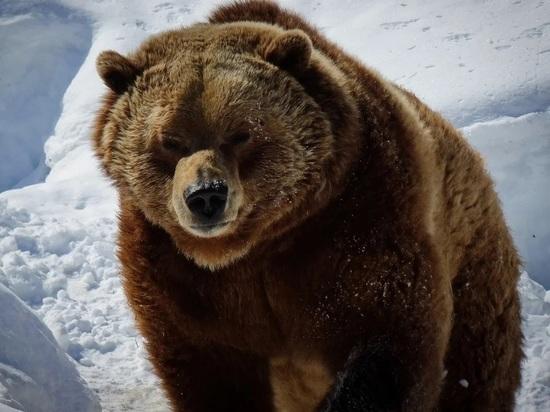 Жителей Колымы предупредили о возможном нашествии медведей-шатунов