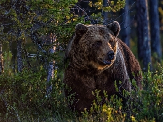 Жителям Твери объяснили, как остаться в живых после встречи в лесу с медведем