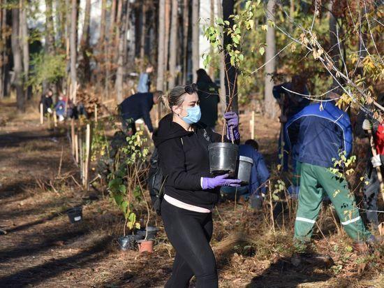 В Северном лесу Воронежа на месте срубленных сосен высадили 300 берез