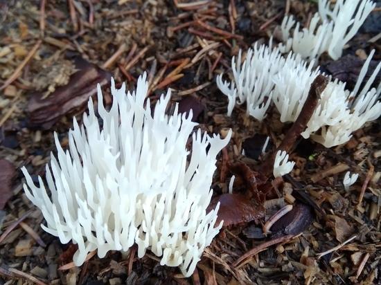 В столице Карелии обнаружили редкий гриб