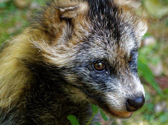 В чепецкое село Полом забежала бешеная енотовидная собака