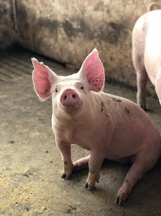 Псковская область заняла третье место в России по производству свинины