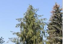 Коммунальщики объяснили, зачем срубили уникальную елку-рябину в Подмосковье
