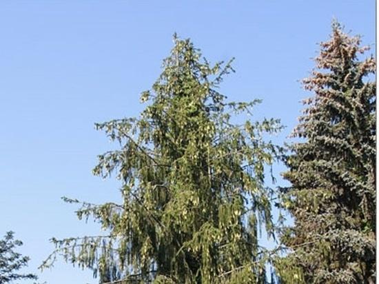 Редкую змеевидную ель, которую срубили коммунальщики, оплакивают жители подмосковного Пущина