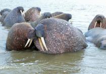 На Ямале ученые снова отправились на лежбище моржей