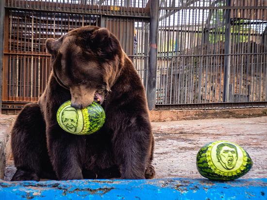 Тигры и медведь из «Роева ручья» предсказали итог выборов президента США