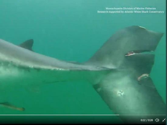 В сети появилось видео гигантской белой акулы с оторванным хвостом