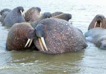 «Знают толк в пляжах»: ученые снабдили ямальских моржей датчиками