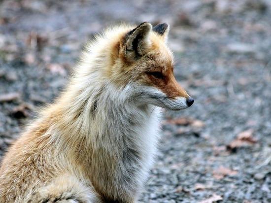 В министерстве экологии и природопользования Московской области сообщили об участившемся количестве обращенийпо поводу встреч с дикими лисами в пределах городских поселений
