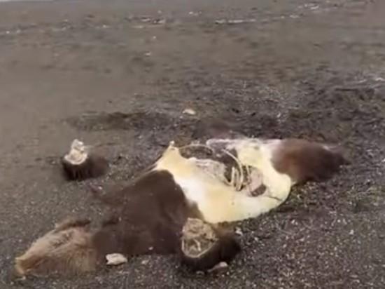 В Минприроды Камчатки прокомментировали видео с пеной, мертвыми акулами и медведем